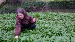 Harvesting the wild garlic